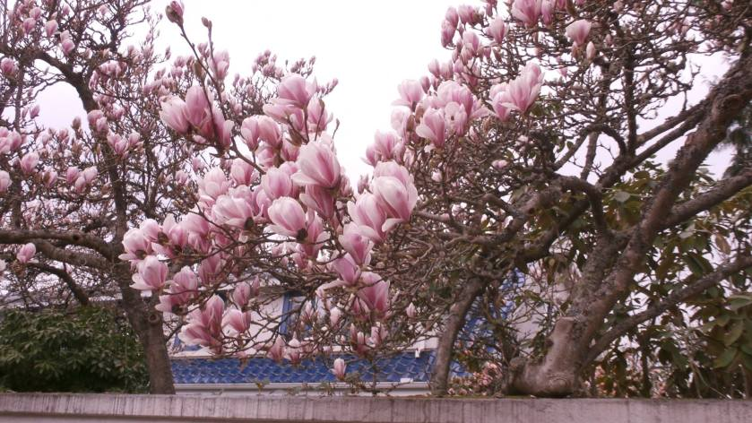 Flowering tree outside the University branch