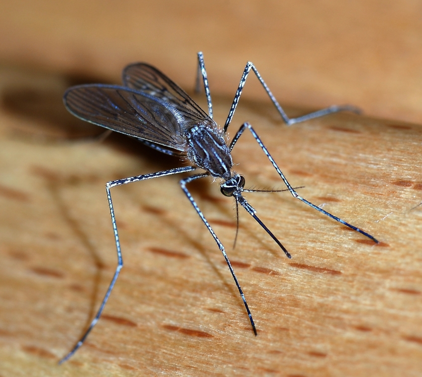 A female mosquito of the Culicidae family (Culiseta longiareolata). Source: Wikipedia