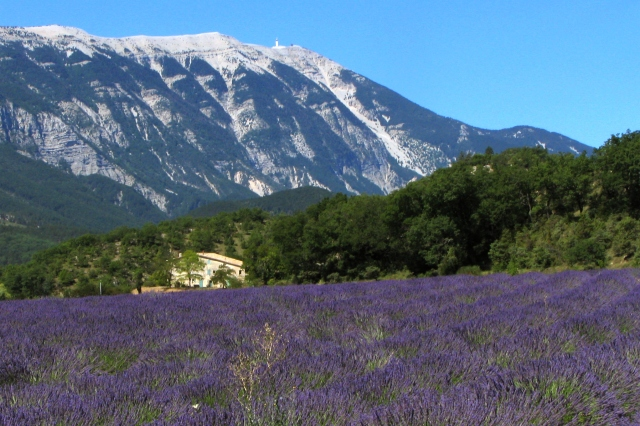 lavender_field_and_mont_ventoux