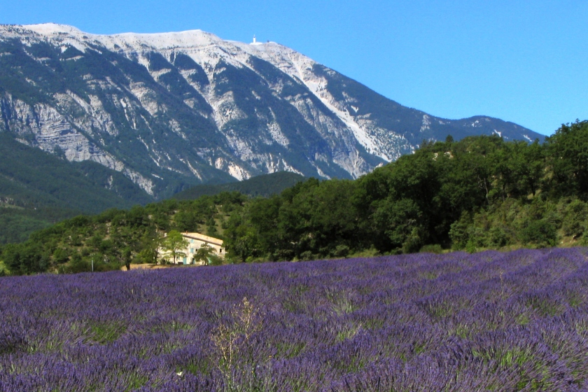 lavender_field_and_mont_ventoux