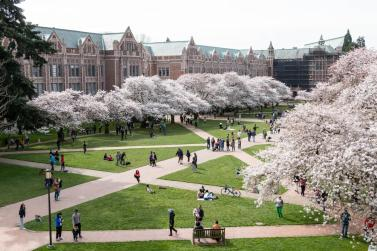 Photograph of blossoming cherry trees on the University of Washington Quad.